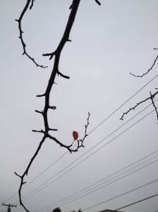 last leaf of autumn, a final gasp ere spiraling, to its fall