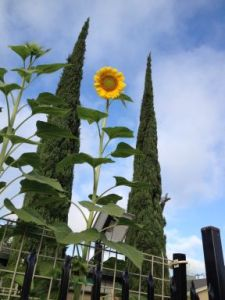 lst sunflower