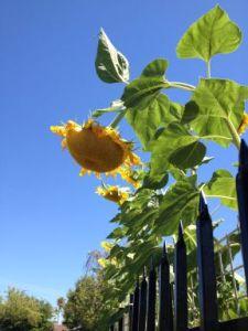 sunflower humility