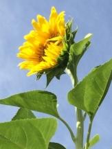 1 sunflower 2016