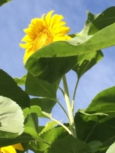 2sunflowers 2016