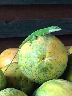 chameleon-papaya