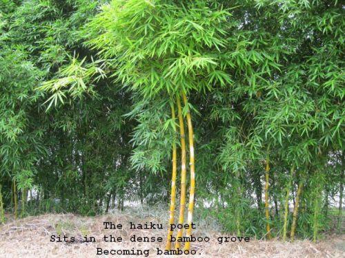 bamboo pic haiku